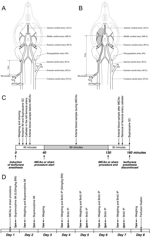 Schematic drawings of the tMCAo model and the study sch