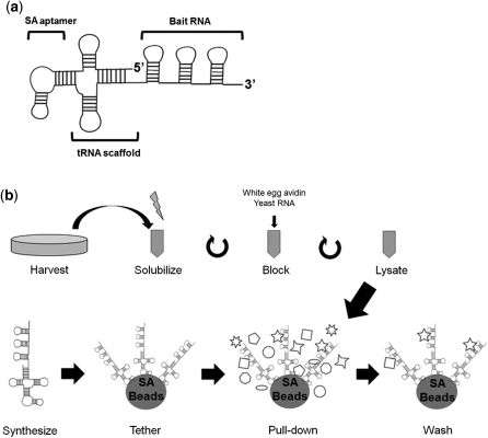 tRSA construction and procedure. (a) Schematic of the t