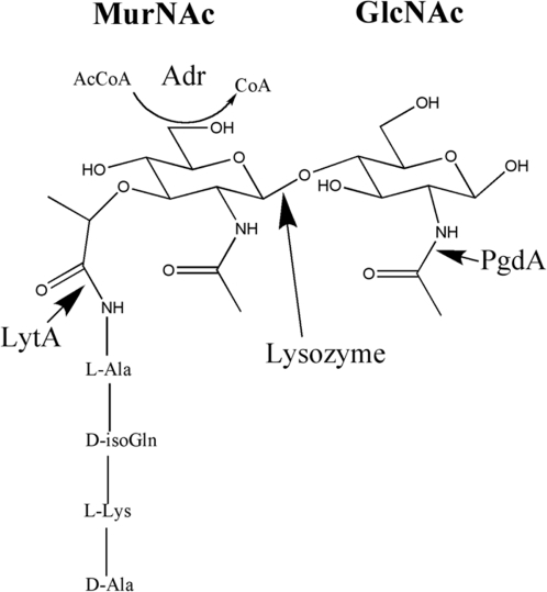 Predicted peptidoglycan structure.PgdA, an N-acetyl glu