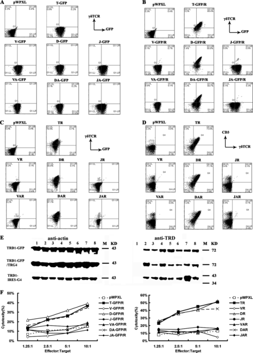 The surface expression and cytotoxic function of TCRγ4