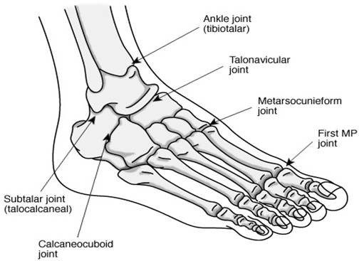 Anatomy of the foot and ankle. (Picture courtesy of All