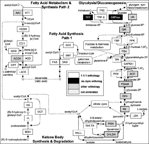 Metabolic pathways for fatty acid synthesis and metabol