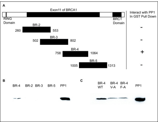 Figure 1:The interaction of PP1 with BRCA1 and analysis of