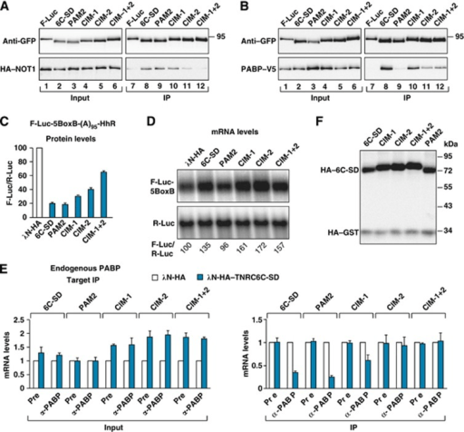 PABP release requires the interaction of GW182 proteins
