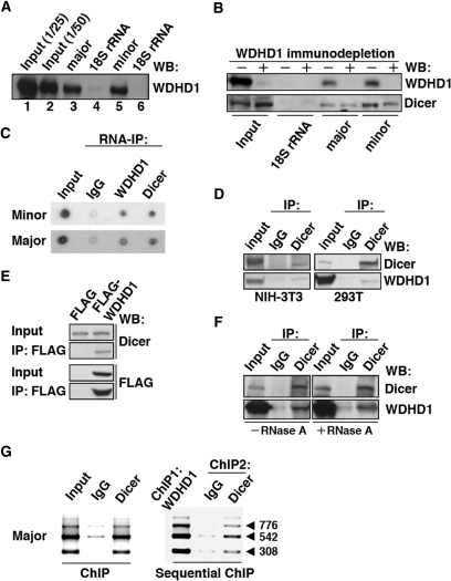 WDHD1 associates with the centromere-encoded RNA transc
