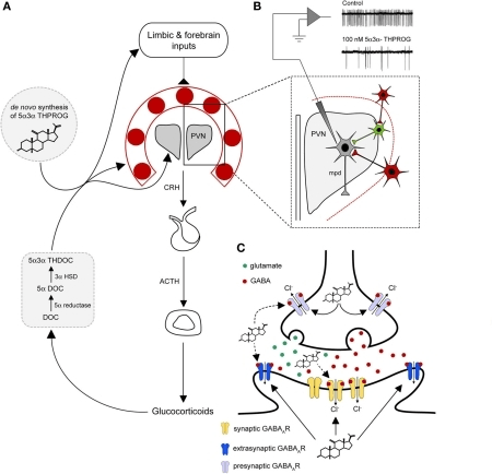 A model for neurosteroid actions at the GABAA receptor