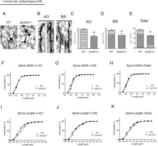 ApoEr2 deficient mice have reduced dendrite spine densi