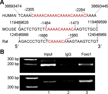 Foxo1 directly binds the insulin response elements in S