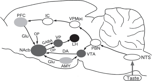 Diagram of connections from the taste system to reward