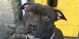 bull terrier il cane che piange
