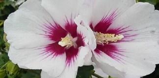 hibiscus-helene