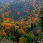 aceri-bosco foliage autunnale