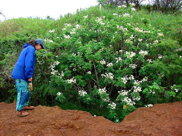 L'albero delle margherite, esuberanza messicana