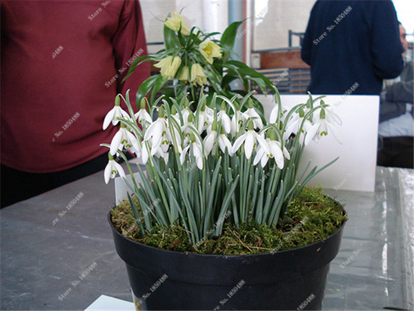 bucaneve Galanthus elwesii monostichtus