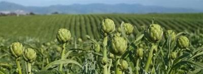 coltivazione di carciofi