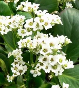 bergenia cordifolia alba