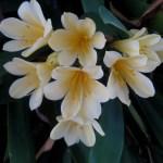 clivia miniata albiflora