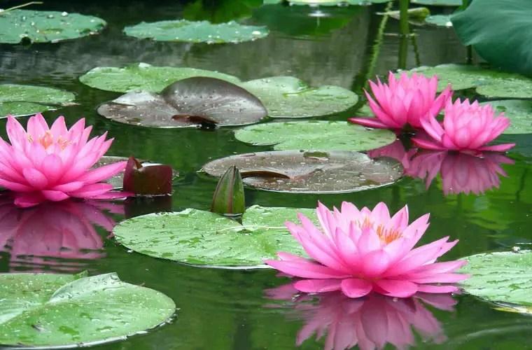 Con loti e ninfee l 39 acqua fiorisce di colore openmag for Laghetto con ninfee
