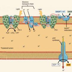 Light Reactions Photosystem Diagram Map Sensor The Dependent  Principles Of Biology