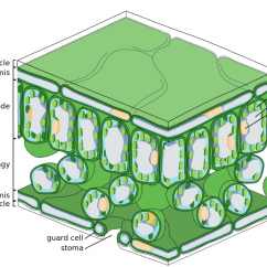 Chloroplast Diagram With Labels Snake Anatomy The Structure Of Principles Biology Cells Within Middle Layer A Leaf Have Chloroplasts Which Contain Photosynthetic Apparatus Credit Zephyris Wikimedia