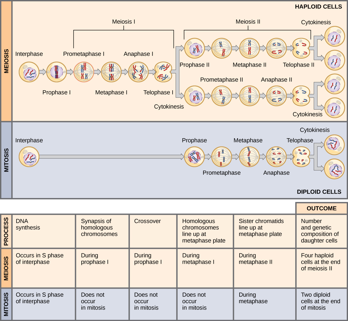 Comparing Meiosis And Mitosis Principles Of Biology