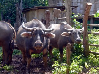 Water buffalo living in the village