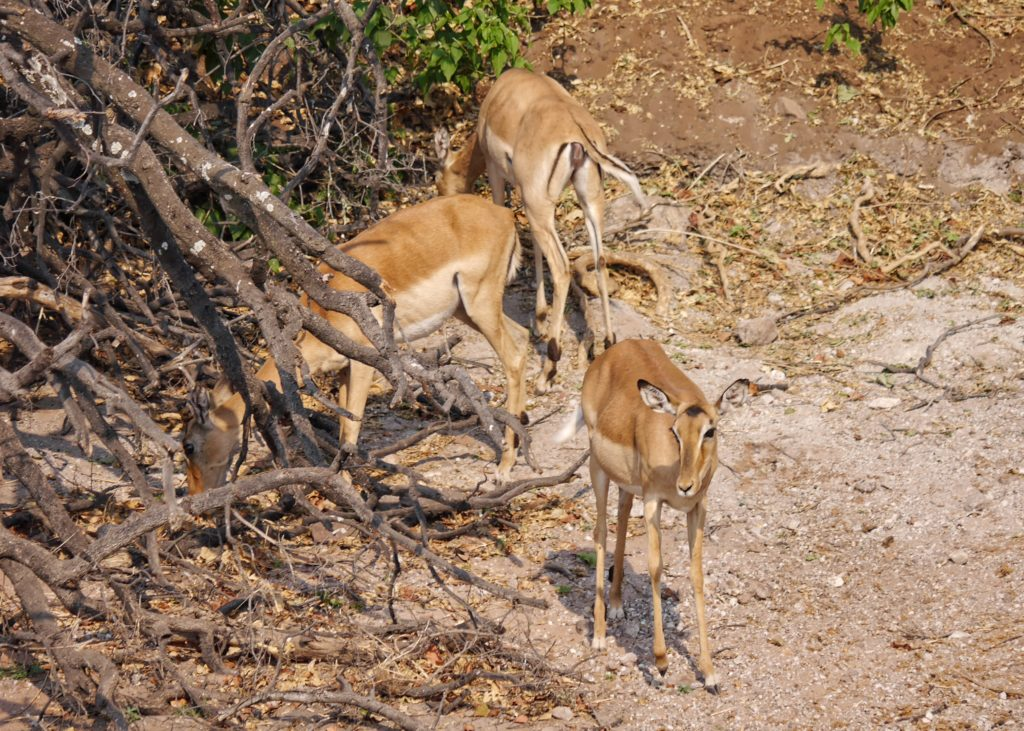 Impalas by the River