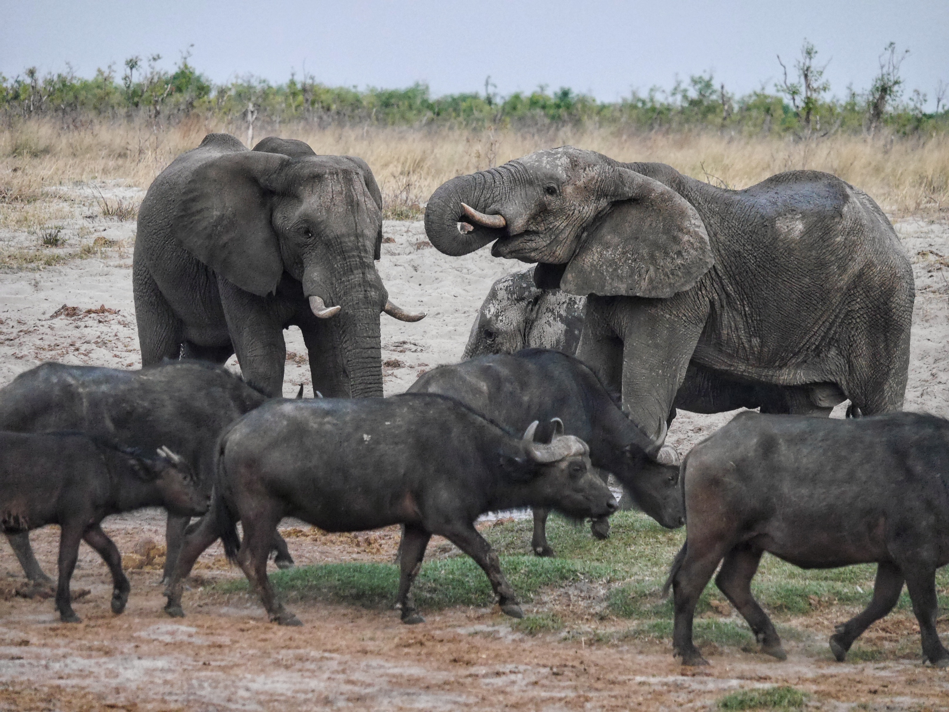 Elephants and Cape Buffalo