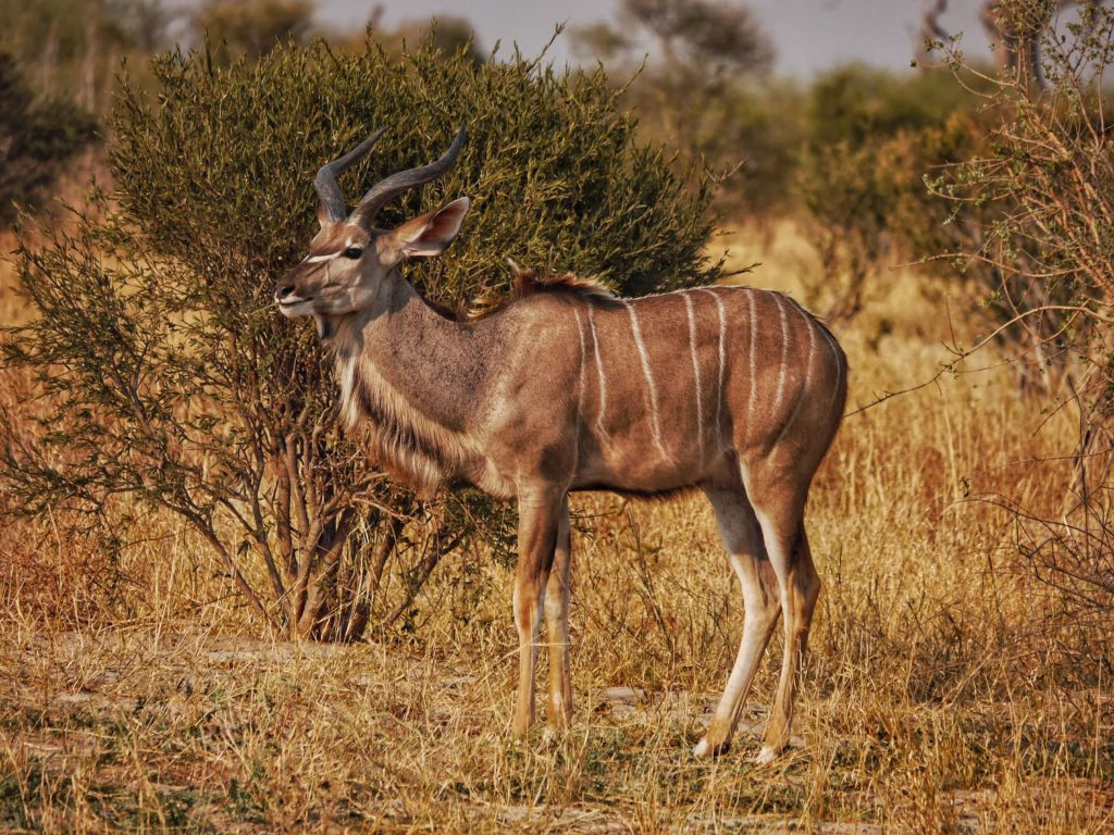 Kudu by the Roadside