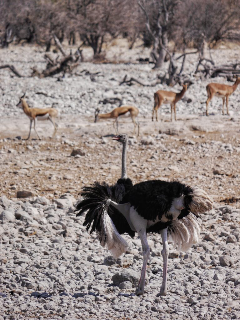 Ostrich in Etosha National Park