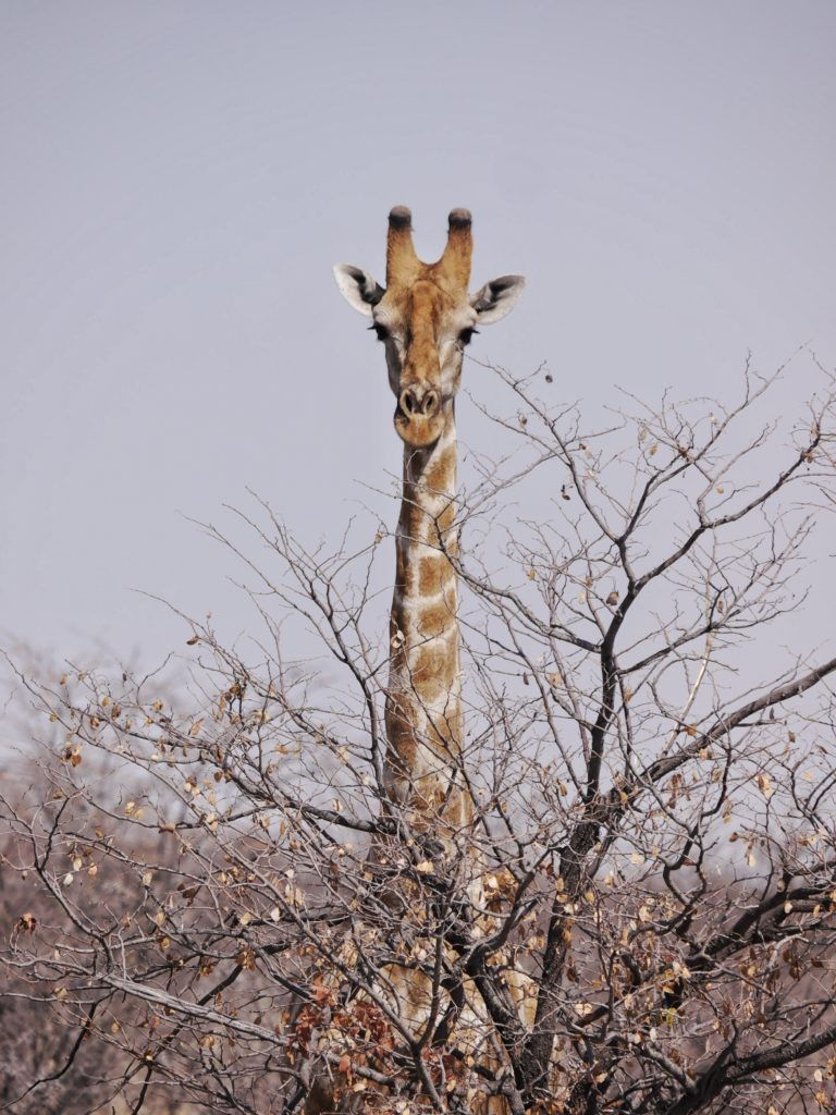 Giraffe Playing Hide-and-Seek