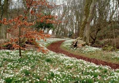 Snowdrops at Cambo Estate. PIc credit: Sir Peter Erskine.