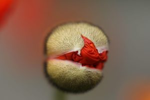 Budding Red Flower