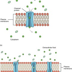Cell Membrane Diagram Blank Wiring For 4 Pin Round Trailer Plug 3 1 The Anatomy And Physiology This Shows Different Means Of Facilitated Diffusion Across Plasma In