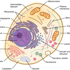 Animal Cell Blank Diagram To Fill In Chevy Trailer Wiring Harness 3 2 The Cytoplasm And Cellular Organelles Anatomy Physiology This Shows An With All Intracellular Labeled