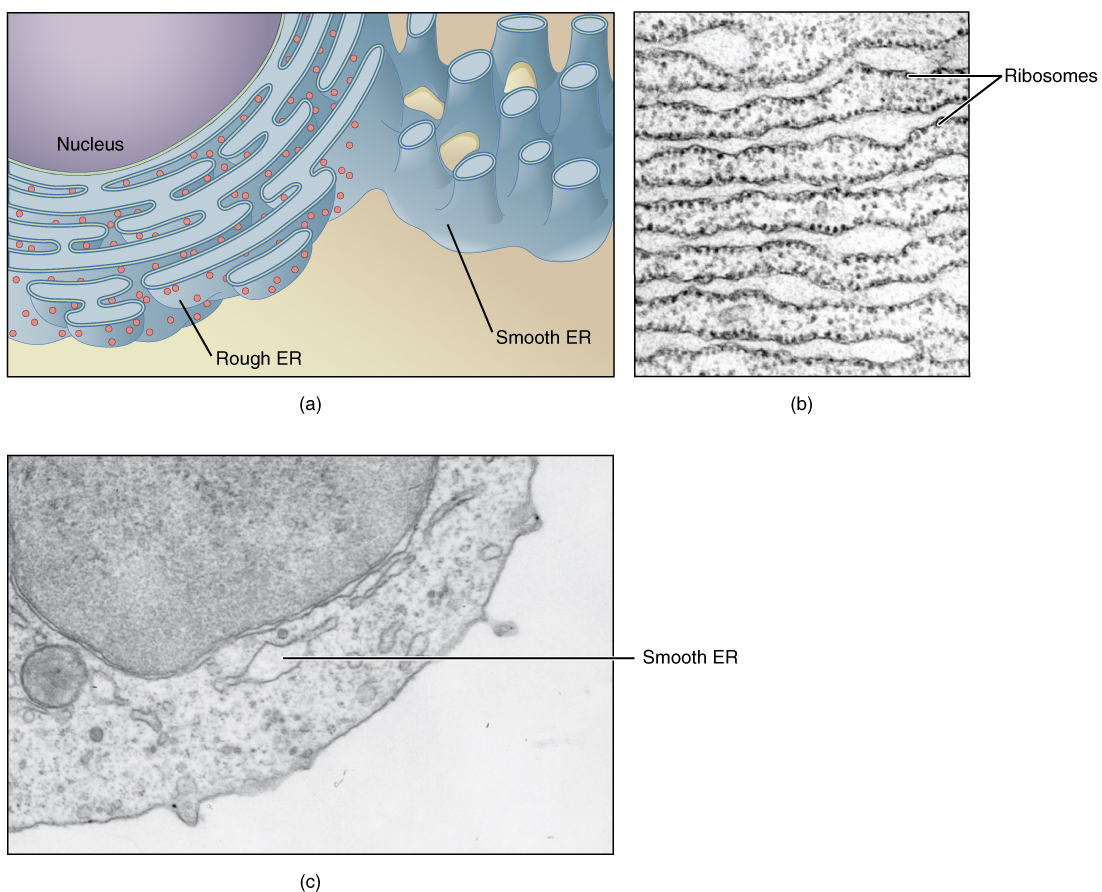 hight resolution of this figure shows structure of the endoplasmic reticulum the diagram highlights the rough and smooth