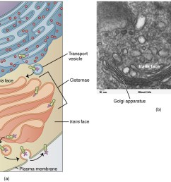 this figure shows the structure of the golgi apparatus the diagram in the left panel [ 1124 x 754 Pixel ]