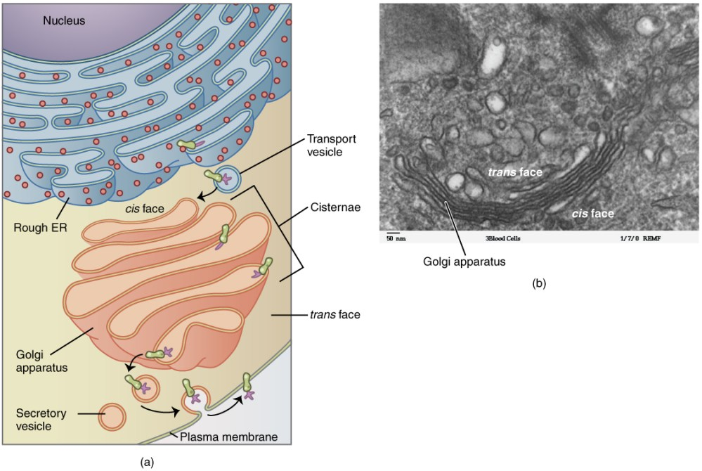 medium resolution of this figure shows the structure of the golgi apparatus the diagram in the left panel