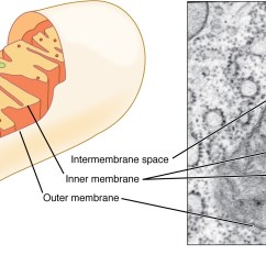 Human Cell Wall Diagram Labeled Inflatable Origami 3 2 The Cytoplasm And Cellular Organelles Anatomy Physiology This Figure Shows Structure Of A Mitochondrion Inner Outer Membrane