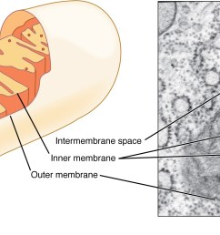 this figure shows the structure of a mitochondrion the inner and outer membrane the [ 2233 x 991 Pixel ]
