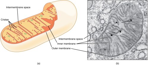 small resolution of this figure shows the structure of a mitochondrion the inner and outer membrane the