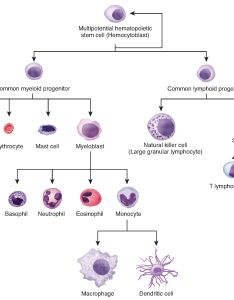 This flowchart shows the differentiation of  hemocytoblast stem cell into different also cellular  anatomy and physiology rh opentextbc