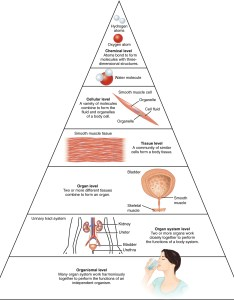 This illustration shows biological organization as  pyramid the chemical level is at apex also structural of human body  anatomy and physiology rh opentextbc