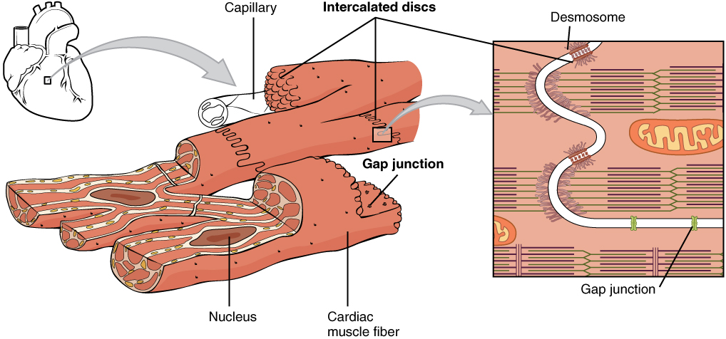 cardiac muscle labeled diagram 240v photocell wiring 10 7 tissue anatomy and physiology this image shows the structure of a small heart