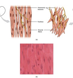 this diagram shows the structure of smooth muscle to the left of the figure  [ 1087 x 923 Pixel ]