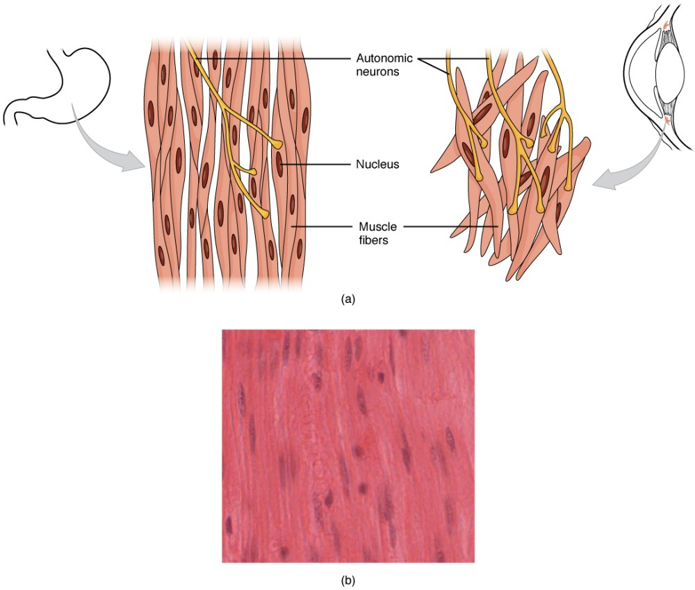 medium resolution of this diagram shows the structure of smooth muscle to the left of the figure