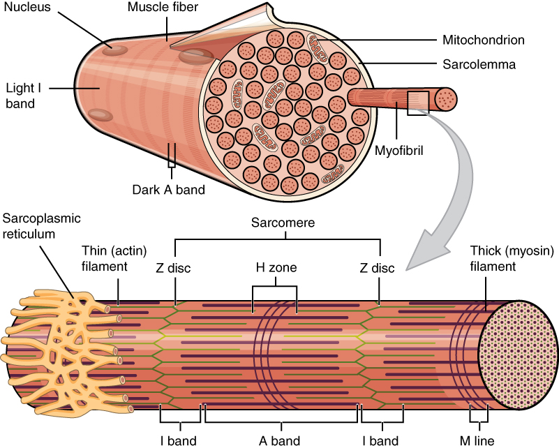human muscle cell diagram labeled 1993 mazda b2200 wiring 10 2 skeletal anatomy and physiology this figure shows the structure of fibers in top panel a