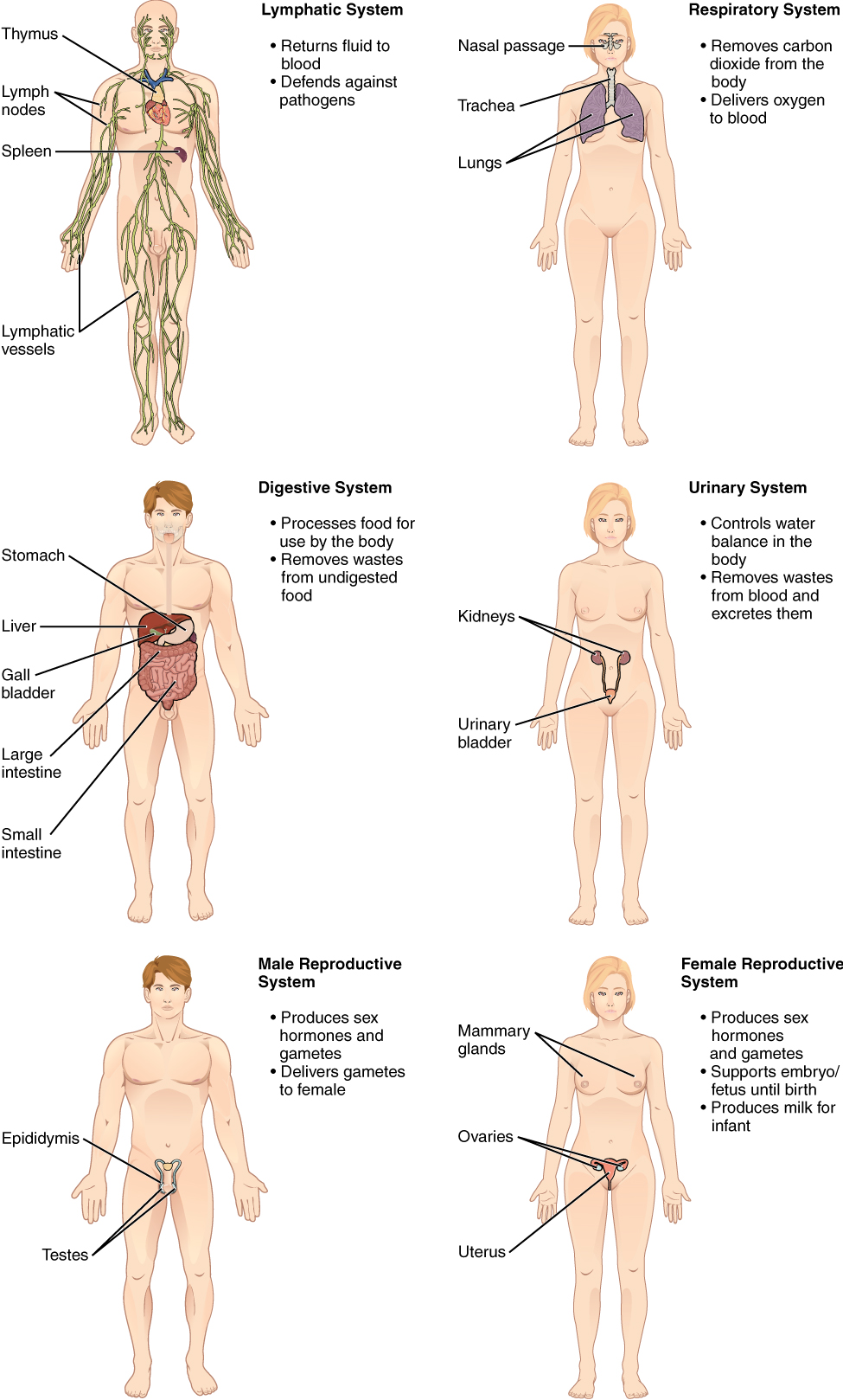 hight resolution of the lymphatic system returns fluid to the blood and defends against pathogens the lymphatic system