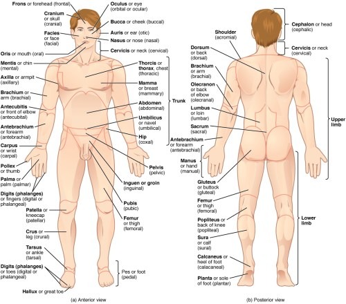 small resolution of this illustration shows an anterior and posterior view of the human body the cranial region