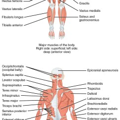 Skeletal System Anterior View Diagram 94 Honda Accord Fuse Box 11 2 Naming Muscles  Anatomy And Physiology